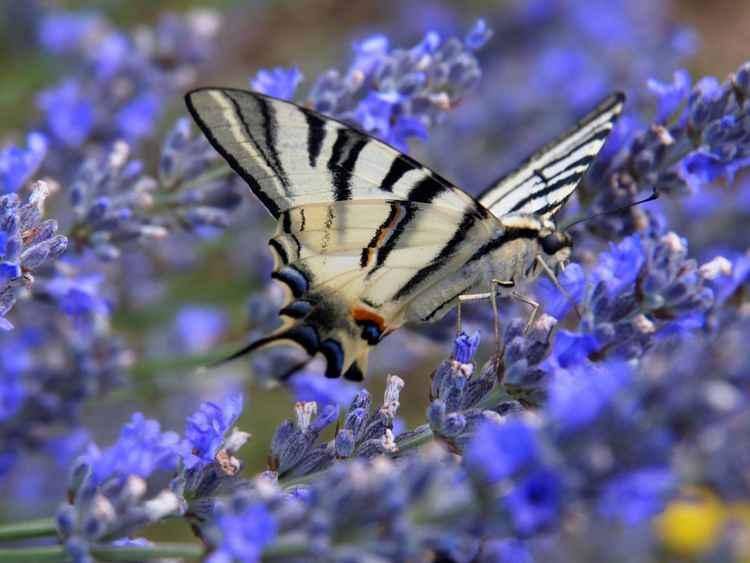 Scarce Swallowtail -