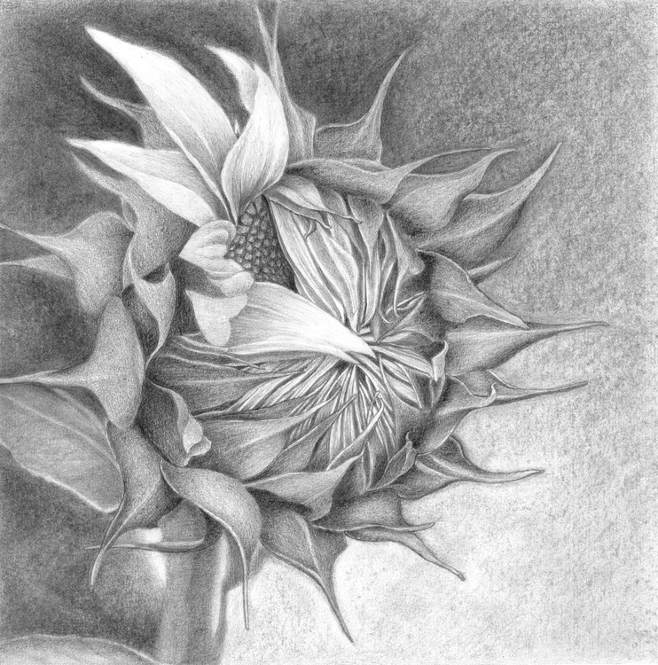 THE BIRTH OF A SUNFLOWER - Image 0