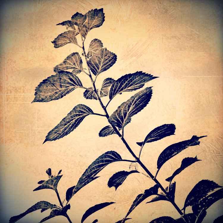 Hydrangea Leaf Shadow -