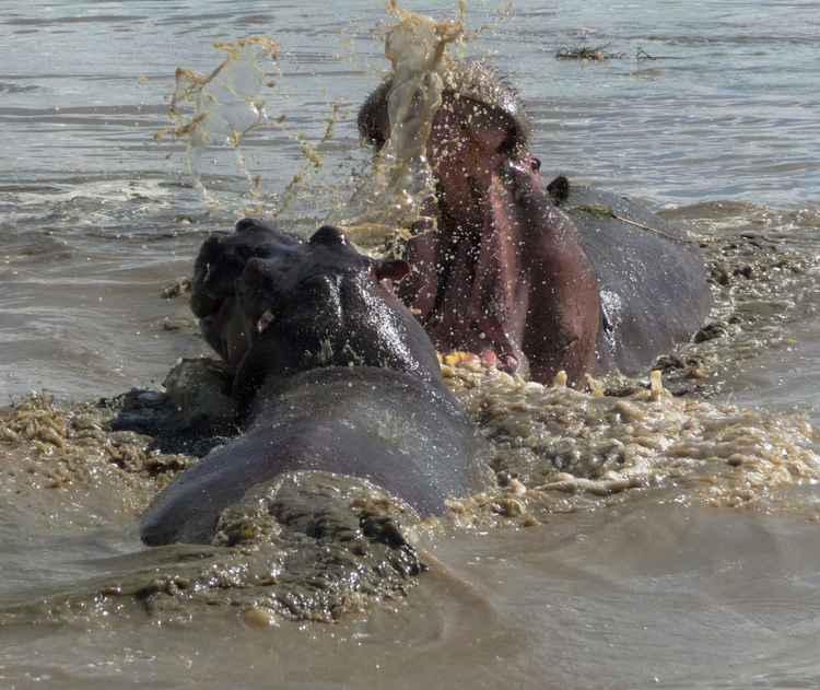African hippos