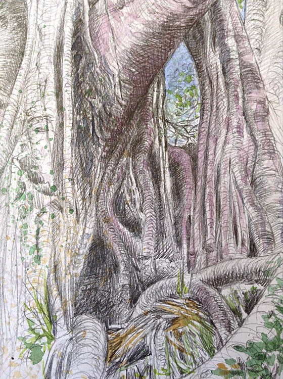 Moreton Bay Fig Tree - Image 0