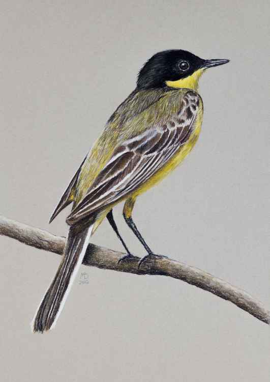 "Original pastel drawing ""Black-headed Wagtail"" -"