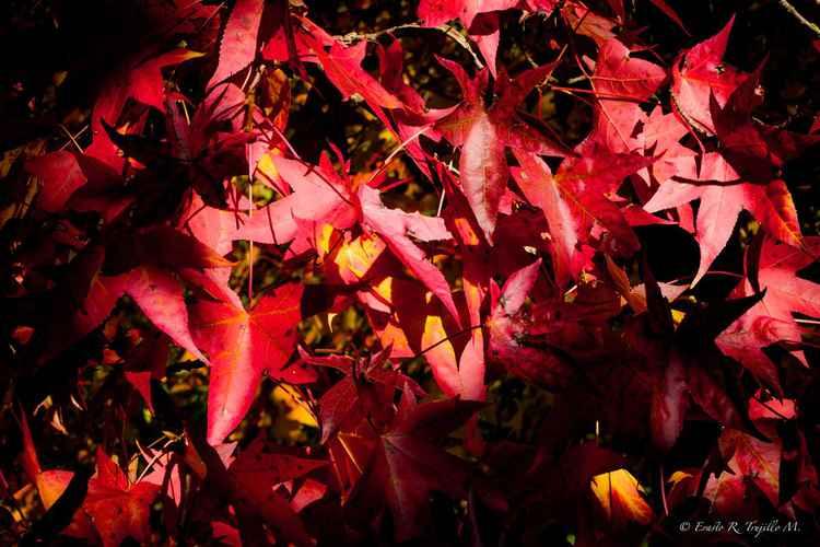 Red Autumn in Padua, 2015