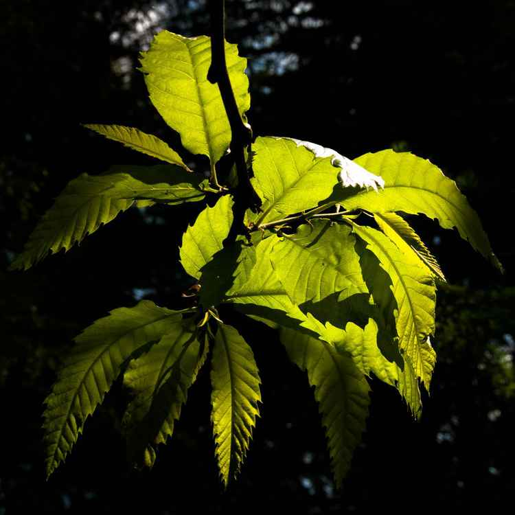 Sunlit Chestnut Leaves -