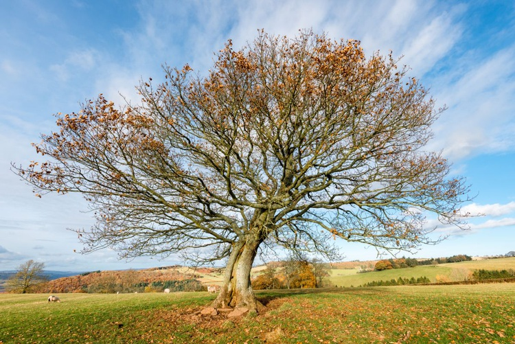 Lonely Oak above Talgarth (2) - Image 0
