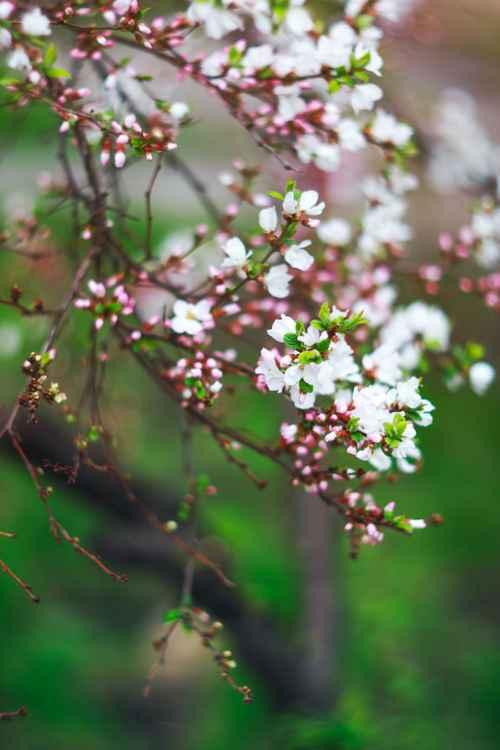 Cherry Blossom II, 2016 !!SALE!! -
