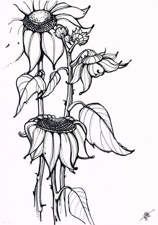 Sunflowers, Study -