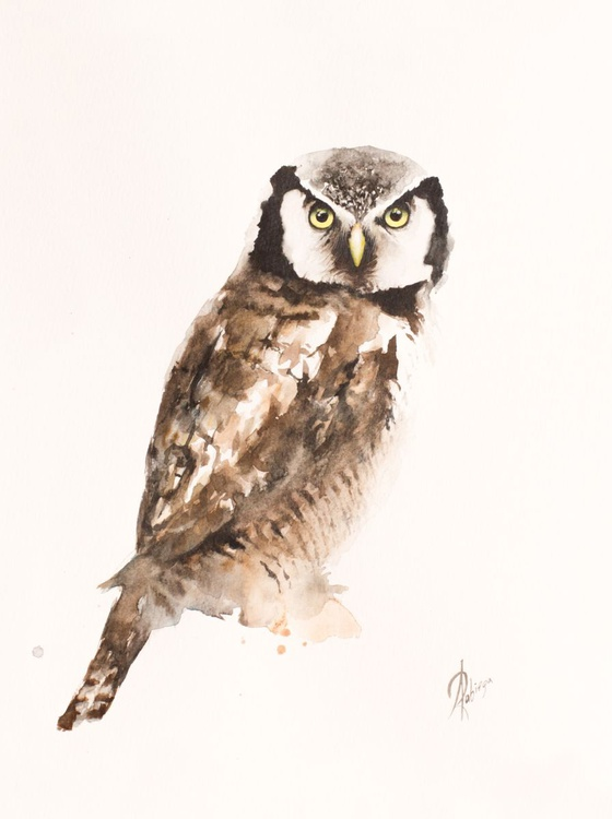 Northern Hawk Owl (Surnia ulula) - Image 0