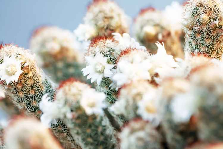 Blooming Cactus I -