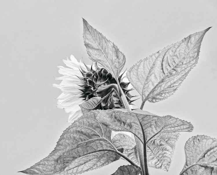 Sun Flower- Black and White -