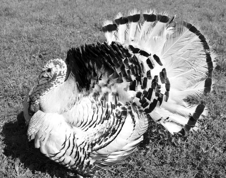 Pet turkey in grey - Image 0