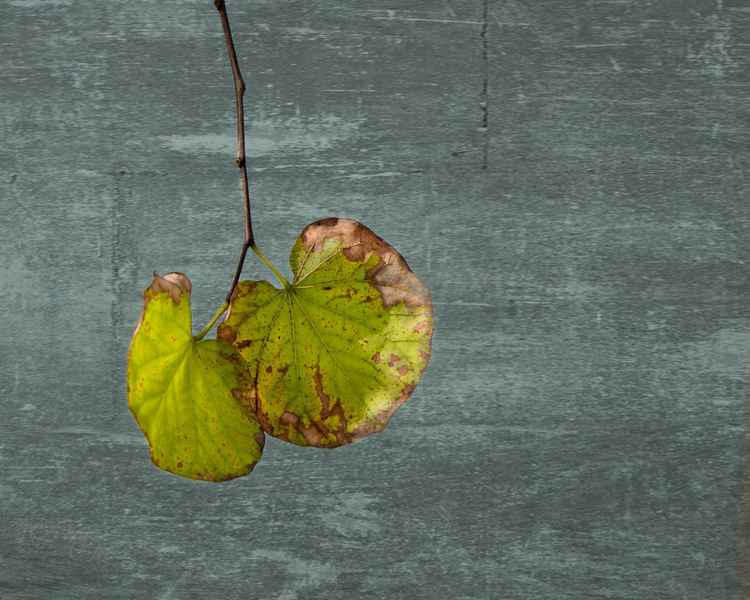Hanging leaves -
