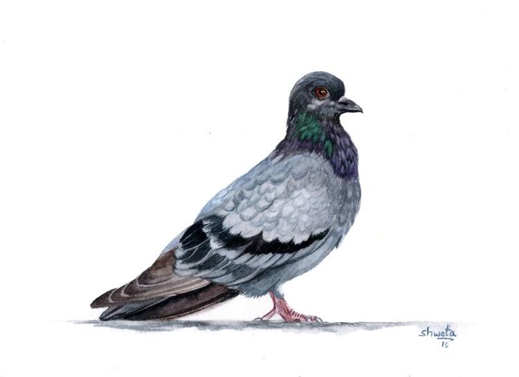 Blue Rock Pigeon - Image 0