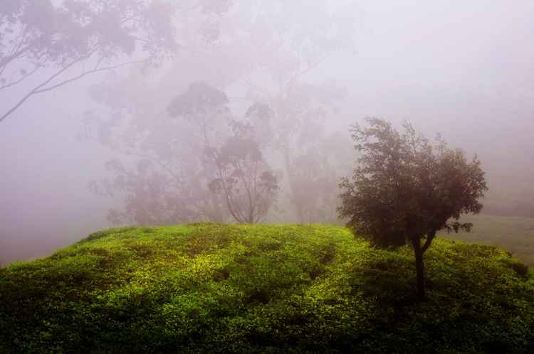 Ghost Tree In The Haunted Forest. Nuwara Eliya. Sri Lanka (Ltd Edition of only 20 Fine Art Giclee prints from an original photograph)