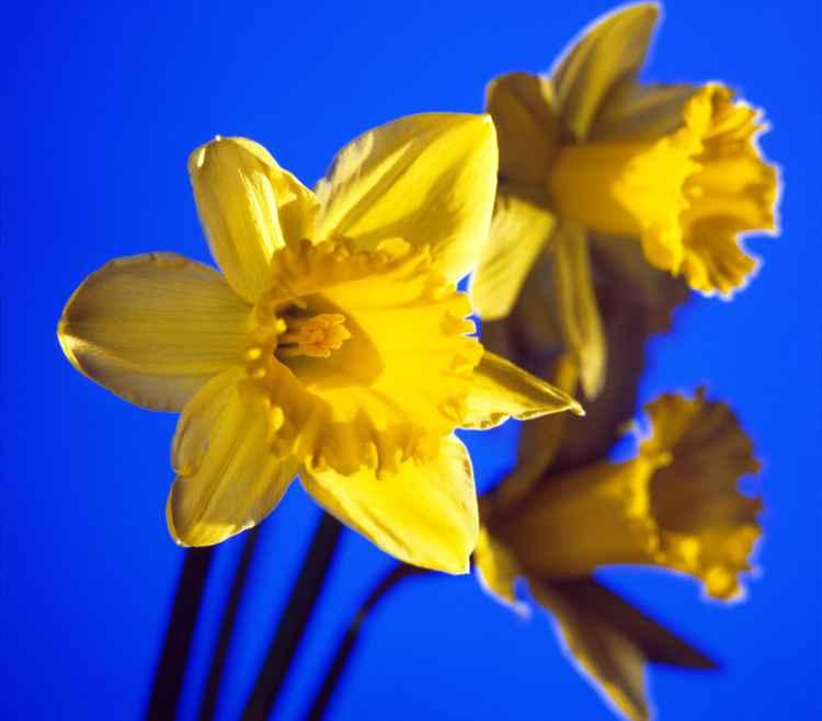 Daffodils -