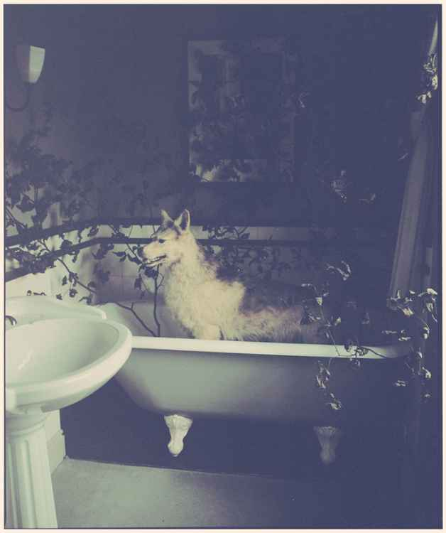 Wolf in the bath (Medium size)