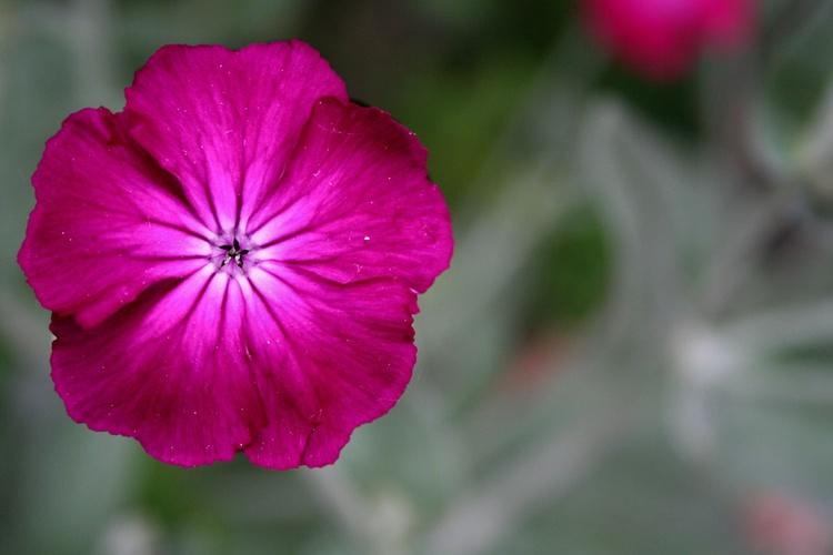 Pink Star - Image 0