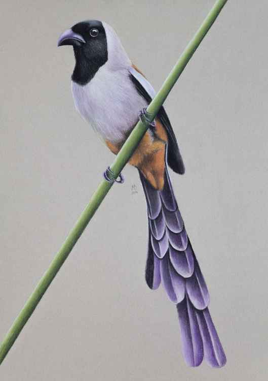 "Original pastel drawing ""Collared Treepie"" -"
