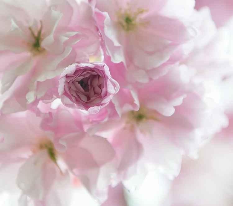 Cherry Blossom -