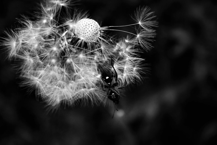 The broken dandelion - Image 0