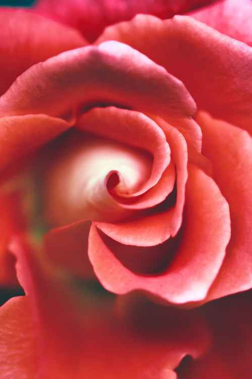 Red Rose /vertical/, 2016 -