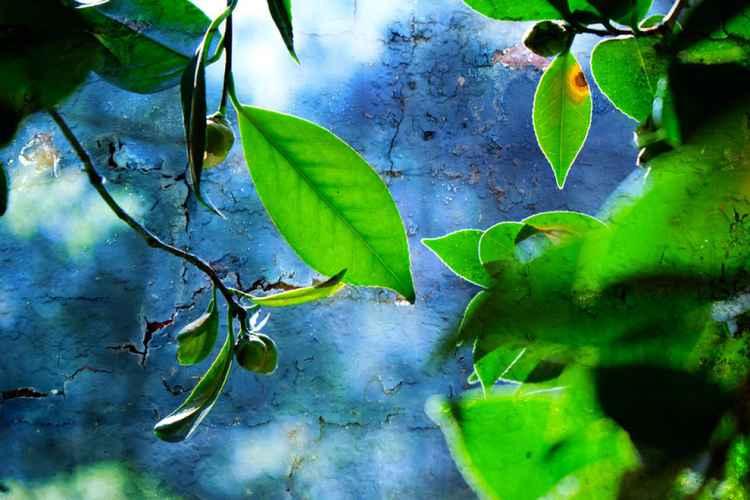 Camellia Leaves -