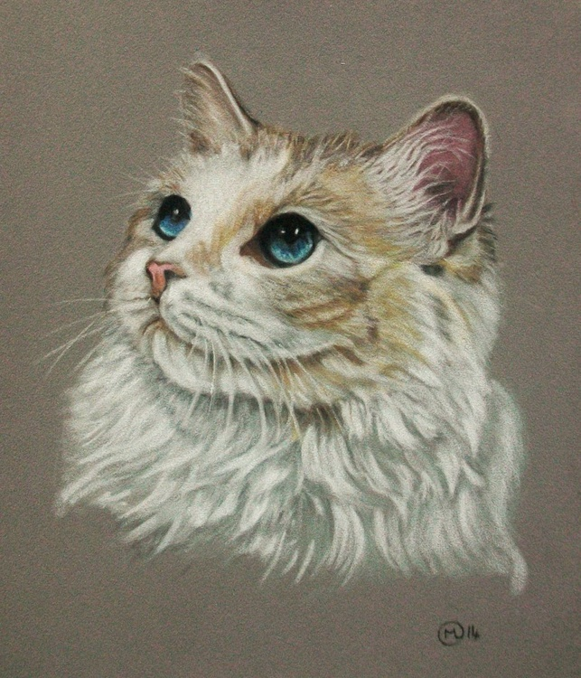 Young Ragdoll Cat - Image 0