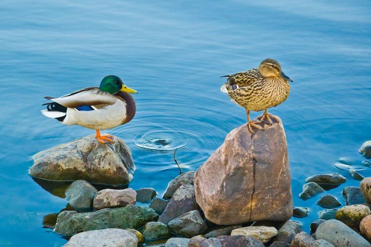 Wild Ducks - Image 0