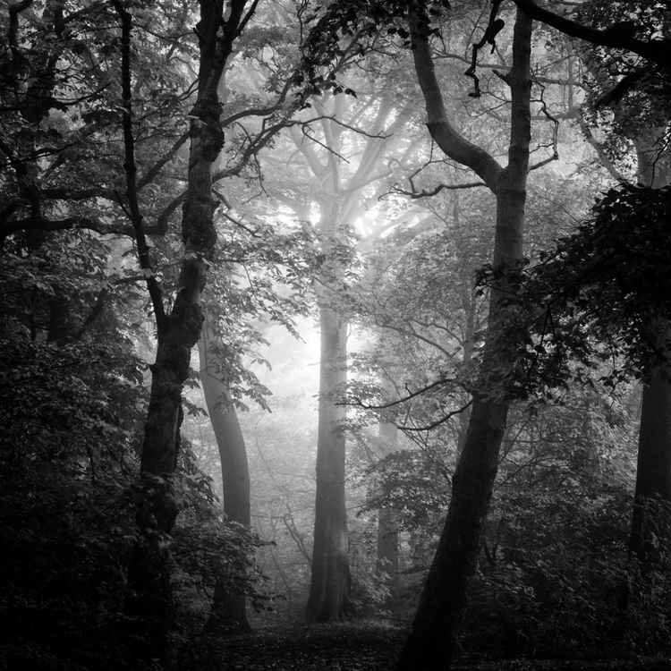 Trees in the mist -