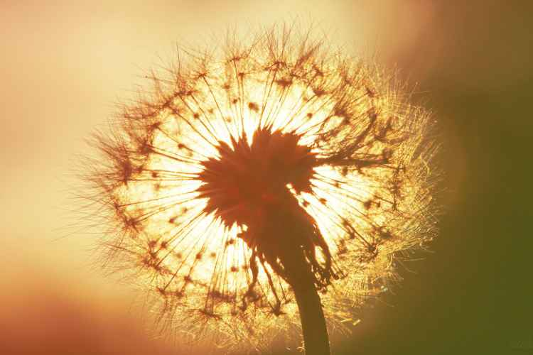 Happy Dandelion, 2015 -
