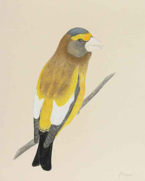 The evening grosbeak -