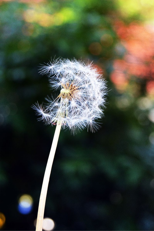 Dandelion - Image 0