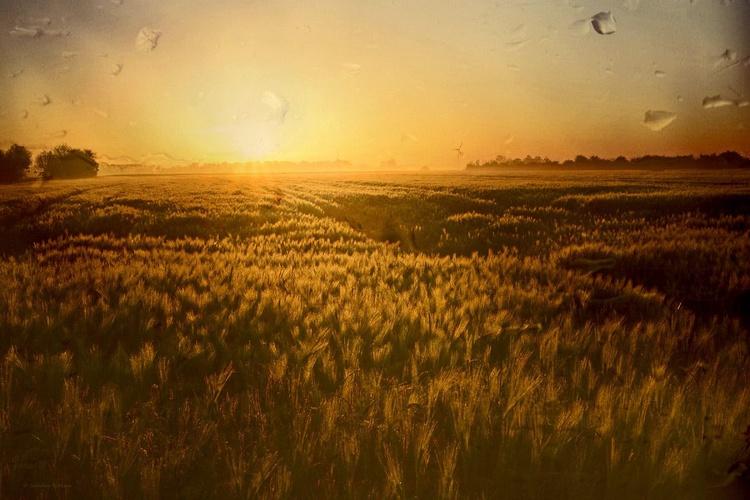 Golden Field - Canvas 75 x 50 cm - Image 0