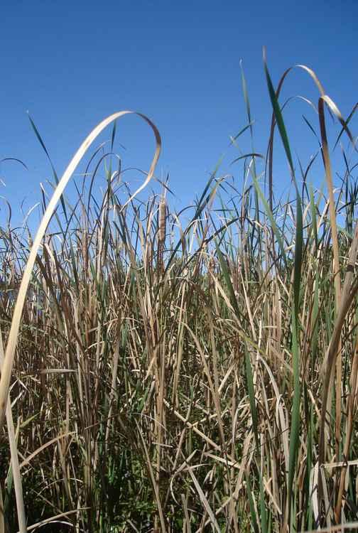 Reeds rhythm -