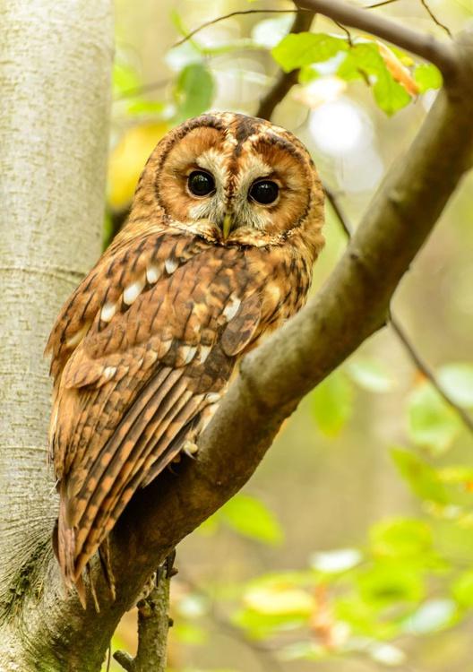 Tawny Owl  - Limited Edition Print - Image 0