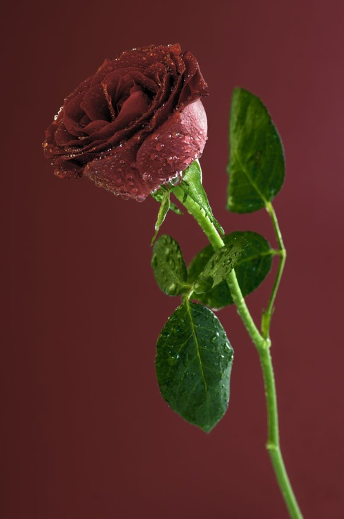 Water Sprayed Red Rose on a Burgundy Background. - Image 0