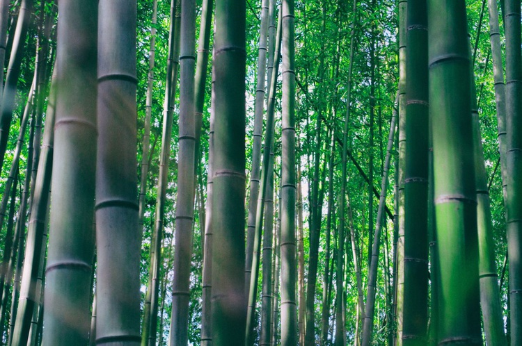 Bamboo Forest #3 - Image 0