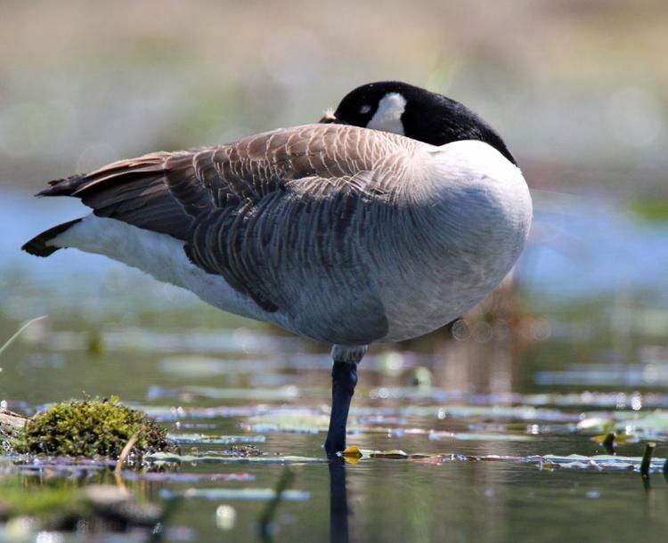 Sleeping Goose - Image 0